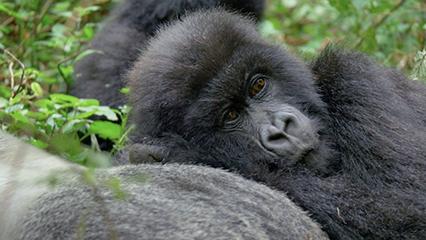 Gorilla Doctors Documentary (Online Video, TV)